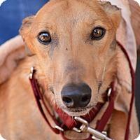 Adopt A Pet :: Prince Harry - Tucson, AZ