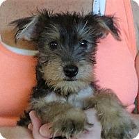 Adopt A Pet :: Norman - Salem, NH