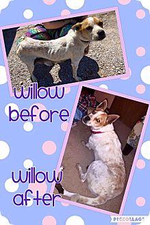 Blue Heeler/Australian Cattle Dog Mix Dog for adoption in Enid, Oklahoma - Willow