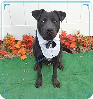 Labrador Retriever Mix Dog for adoption in Marietta, Georgia - DOVER see video!