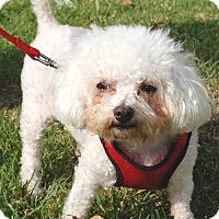 Adopt A Pet :: Mopsy - West Los Angeles, CA