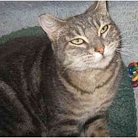 Domestic Shorthair Cat for adoption in Toluca Lake, California - Lucy