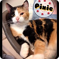 Domestic Shorthair Cat for adoption in Hartford City, Indiana - Pixie