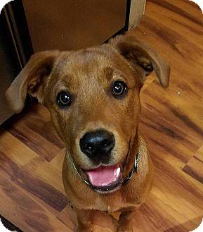 Beagle/Rhodesian Ridgeback Mix Puppy for adoption in Fredericksburg, Virginia - koda