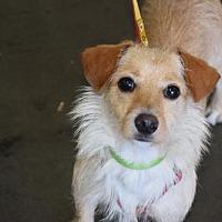 Terrier (Unknown Type, Medium) Mix Dog for adoption in Seattle, Washington - Bit Fort