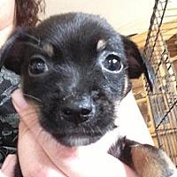 Adopt A Pet :: Shadow - pasadena, CA