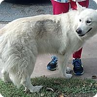 Adopt A Pet :: Snow - Gilbert, AZ