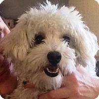 Adopt A Pet :: Lollipop - La Costa, CA