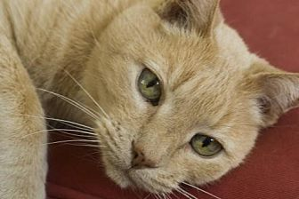 Domestic Shorthair Cat for adoption in Trenton, New Jersey - Griffin