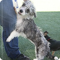 Adopt A Pet :: Roxie - Rockwall, TX