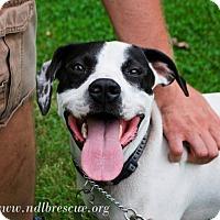 Pointer Mix Dog for adoption in Brooklyn Center, Minnesota - Elvis