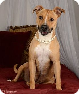 American Staffordshire Terrier Mix Dog for adoption in Las Vegas, Nevada - Winona