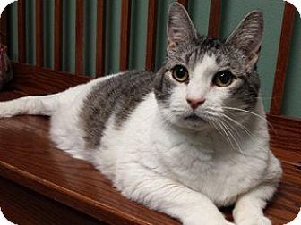 Domestic Shorthair Cat for adoption in Great Falls, Montana - Roman