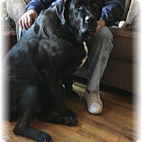 Adopt A Pet :: Bear - Courtesy Posting - New Canaan, CT