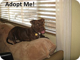 American Pit Bull Terrier Dog for adoption in Scottsdale, Arizona - Amber