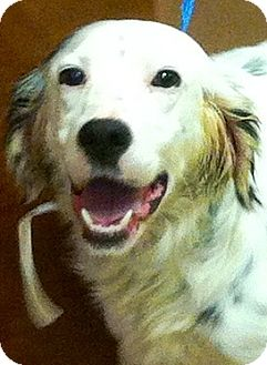 English Setter Dog for adoption in Oswego, Illinois - Berkley