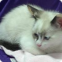 Adopt A Pet :: Chelsie - Dallas, TX