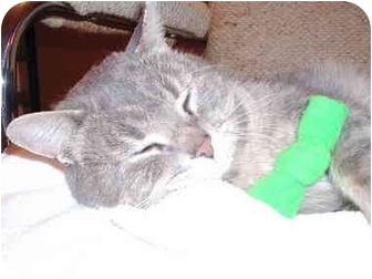 Domestic Shorthair Cat for adoption in Toronto, Ontario - Freddy