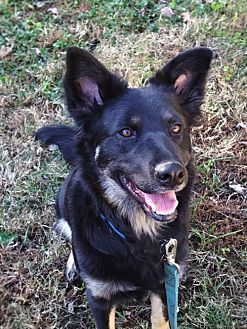German Shepherd Dog Mix Dog for adoption in Sterling, Virginia - Maggie 4212
