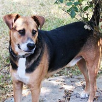 Basenji/Beagle Mix Dog for adoption in Whitewright, Texas - Chico
