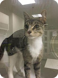 American Shorthair Cat for adoption in Overland PArk, Kansas - Bunny