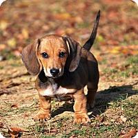 Adopt A Pet :: Waldi - Pleasant Plain, OH