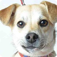 Adopt A Pet :: PETER - Ukiah, CA