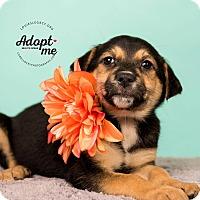 Adopt A Pet :: Moana - Cincinnati, OH