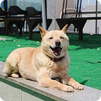 Adopt A Pet :: Suli - Fairfax, VA