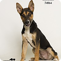 Adopt A Pet :: Beckham - Baton Rouge, LA