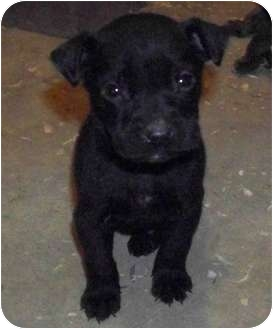 American Pit Bull Terrier/Labrador Retriever Mix Puppy for adoption in Claypool, Indiana - Zeplin