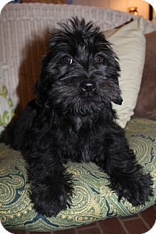 Scottie, Scottish Terrier/Shih Tzu Mix Puppy for adoption in Hamburg, Pennsylvania - Armani