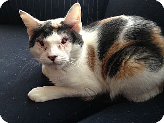 Calico Cat for adoption in East Hanover, New Jersey - Scarlett