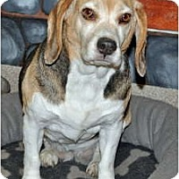 Adopt A Pet :: Maddie - Port Washington, NY