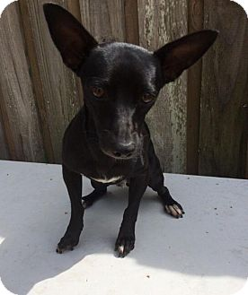 Terrier (Unknown Type, Small)/Terrier (Unknown Type, Small) Mix Dog for adoption in Palmetto Bay, Florida - Dash