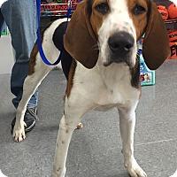 Adopt A Pet :: Amos-in New England! - Brattleboro, VT