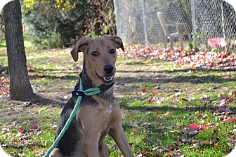 German Shepherd Dog/Hound (Unknown Type) Mix Dog for adoption in Broadway, New Jersey - Dallas