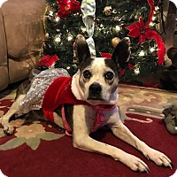 Boston Terrier Dog for adoption in Shallotte, North Carolina - Gabriella