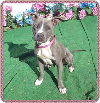 American Pit Bull Terrier Mix Dog for adoption in Marietta, Georgia - TARA