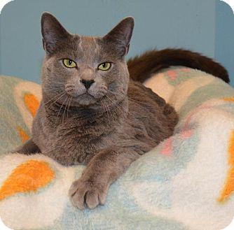 Domestic Shorthair Cat for adoption in Cincinnati, Ohio - Quick Silver