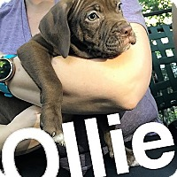 Adopt A Pet :: Ollie - Kansas City, MO