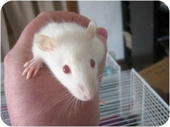 Rat for adoption in Cincinnati, Ohio - Johnny