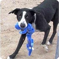 Adopt A Pet :: JOE - YERINGTON, NV