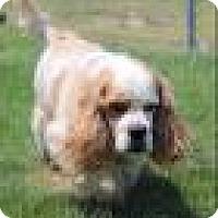 Adopt A Pet :: Copper - Shawnee Mission, KS