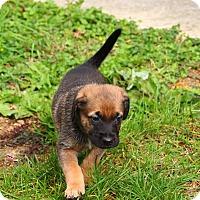 Adopt A Pet :: Cabot - Reisterstown, MD
