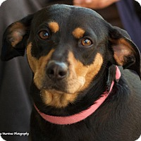 Adopt A Pet :: Amelia - Knoxville, TN