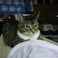 Domestic Shorthair Cat for adoption in Centerton, Arkansas - Booker