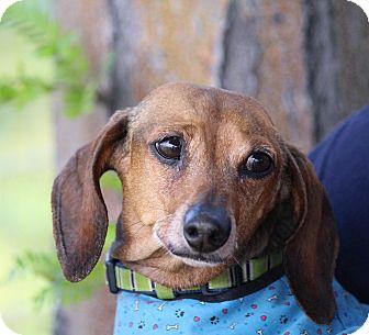 Dachshund Dog for adoption in Henderson, Nevada - Woody