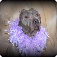 Adopt A Pet :: Azula - Kewanee, IL