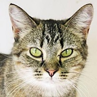 Domestic Shorthair Cat for adoption in Beckley, West Virginia - Pretty
